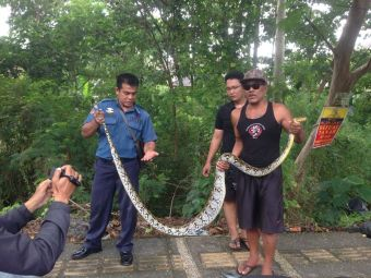 This python, caught just near my friend's house a few kilometres from the Hyatt in Sanur some months later, is believed to have been the snake resonsible.